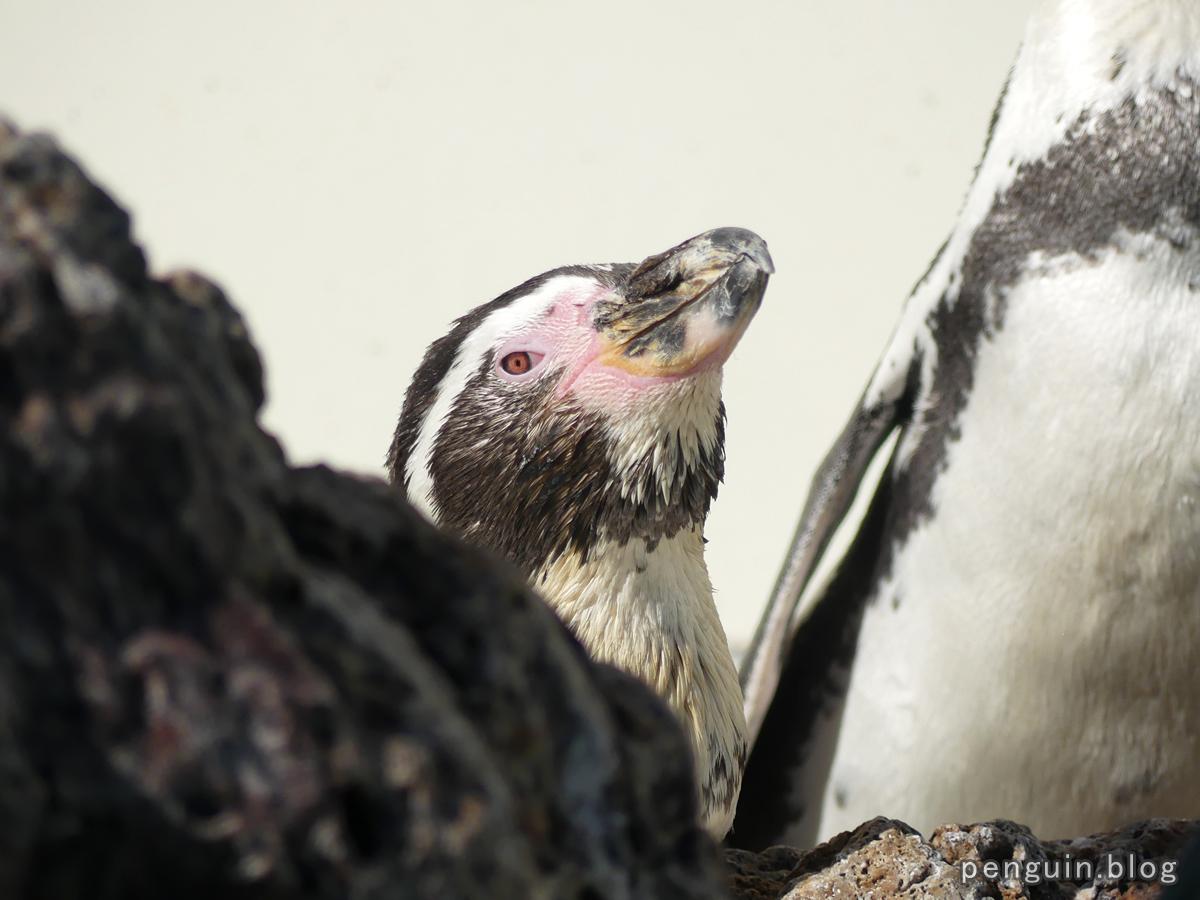 フンボルトペンギン9