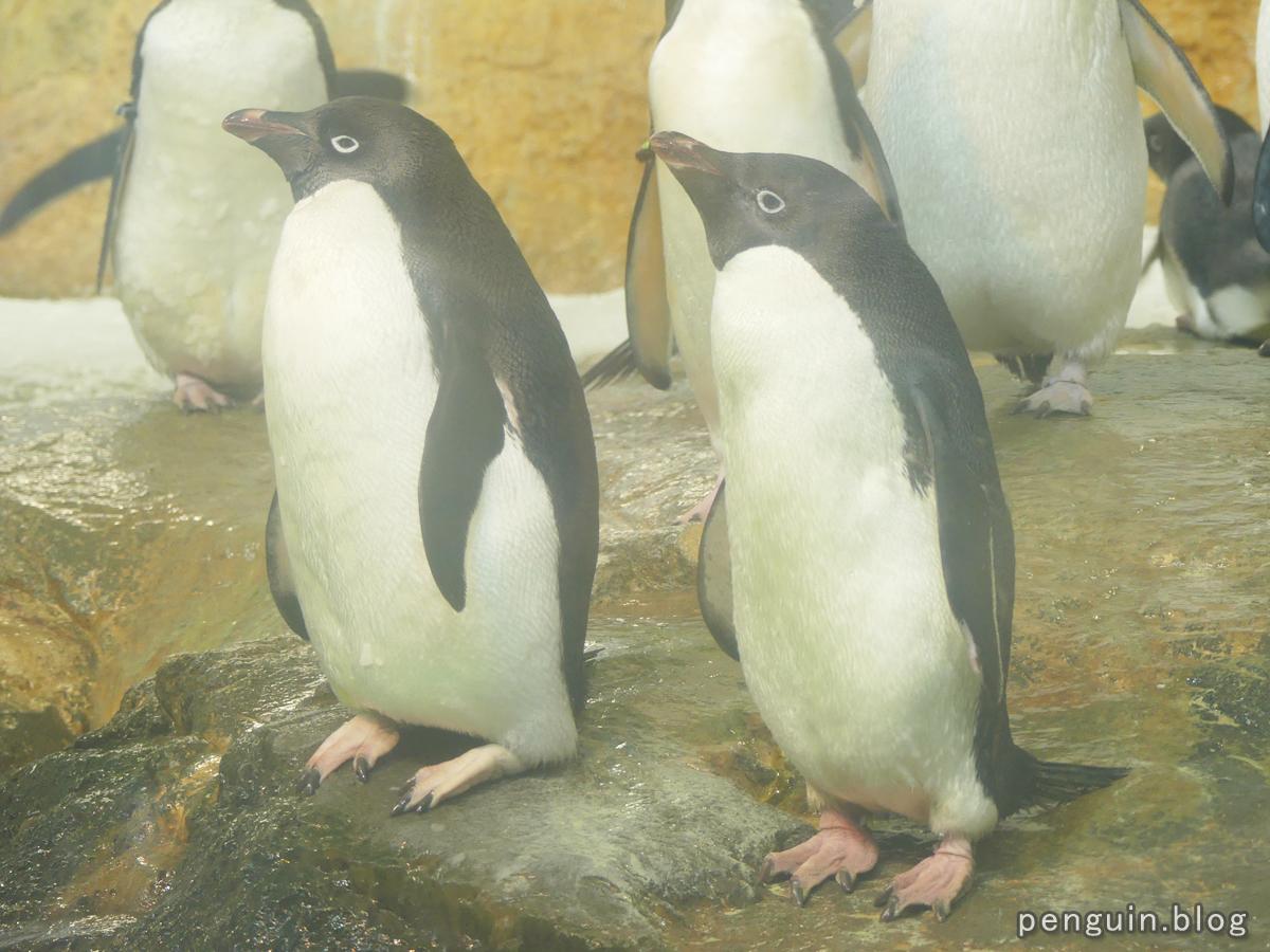 アデリーペンギン2