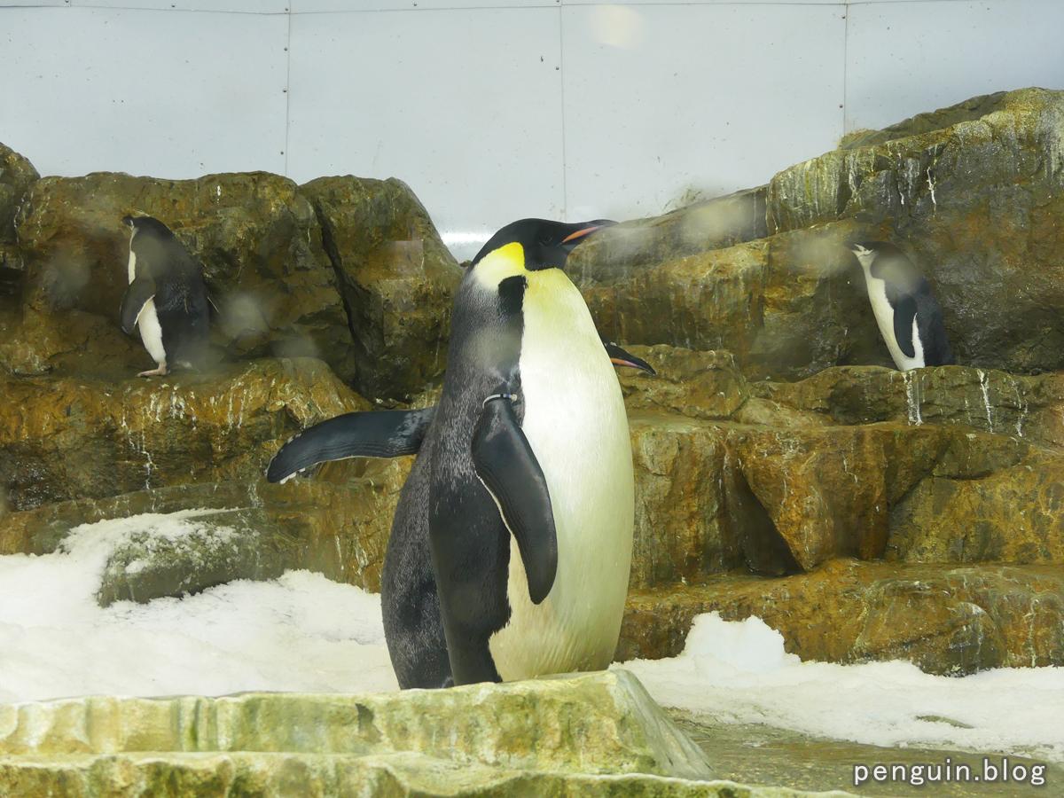 コウテイペンギン2