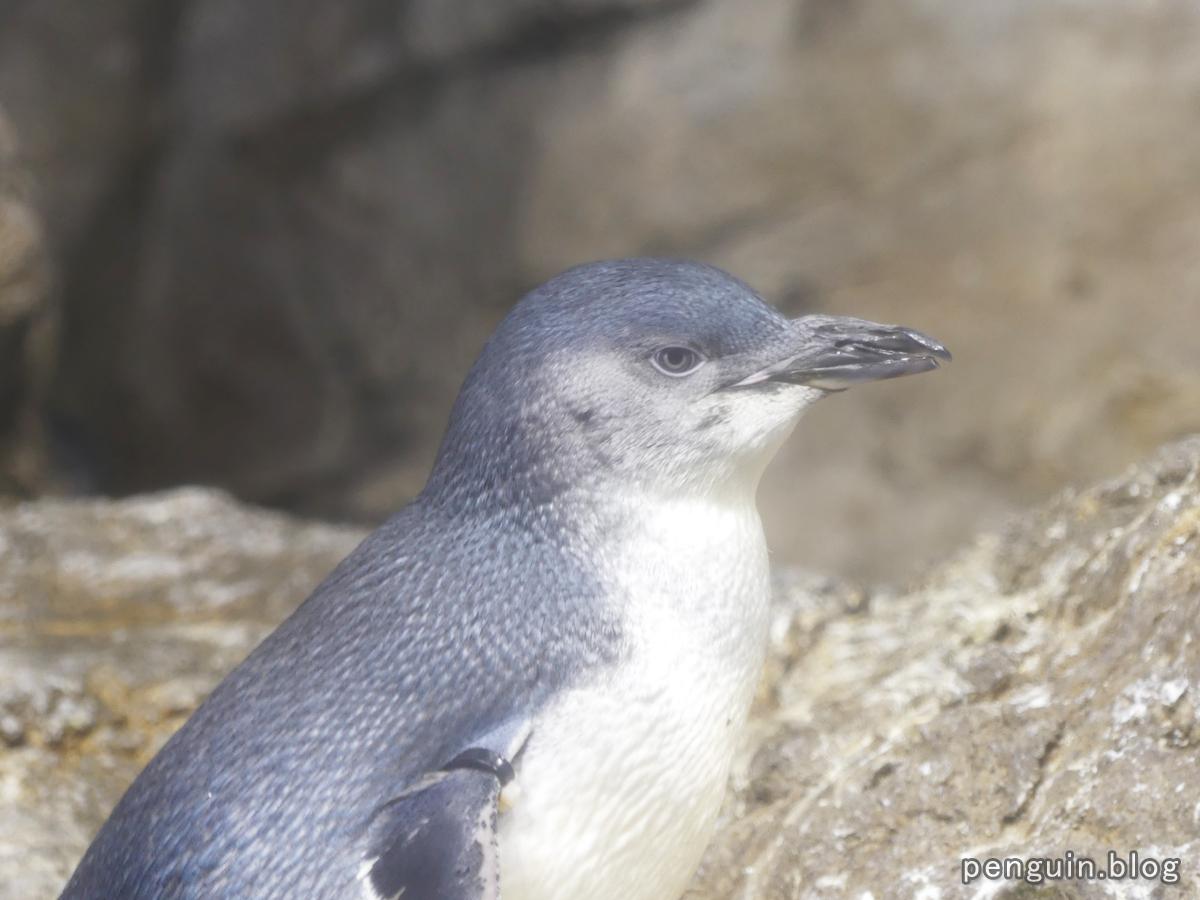 リトルペンギン2
