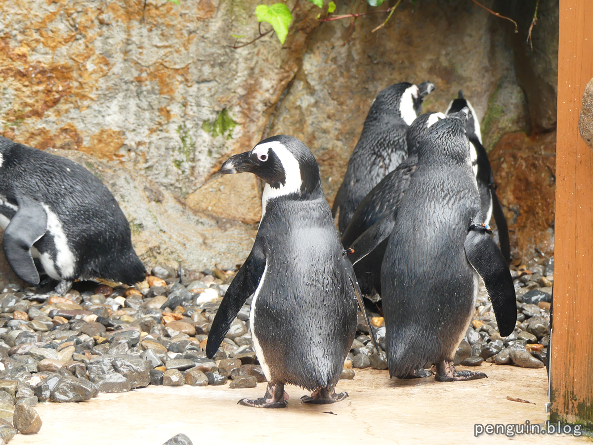 ケープペンギン2