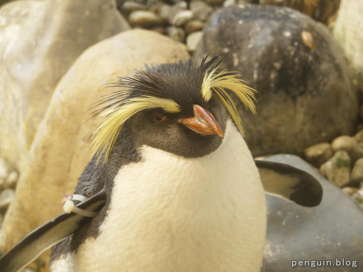 キタイワトビペンギン4