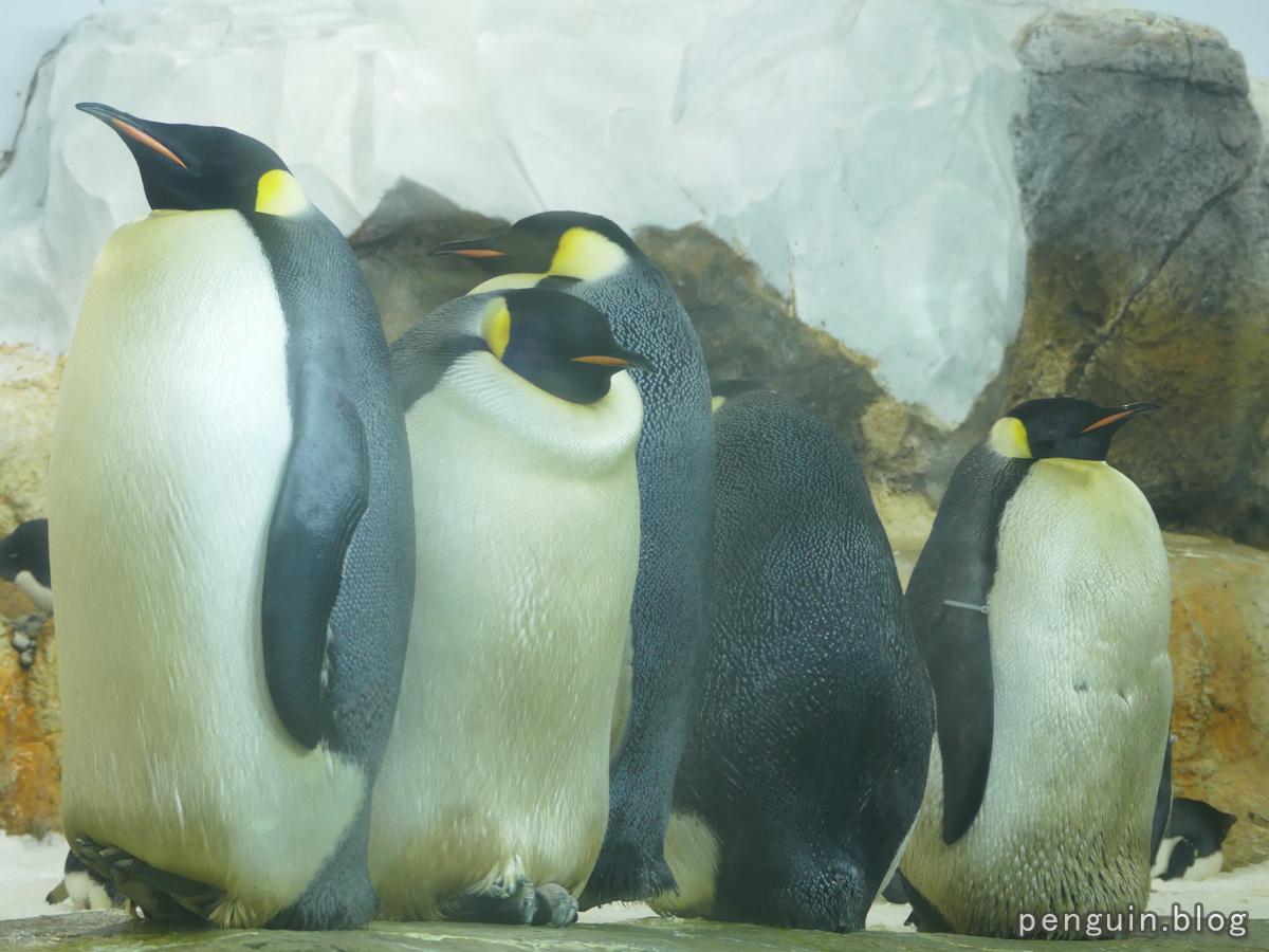 エンペラーペンギン(コウテイペンギン)