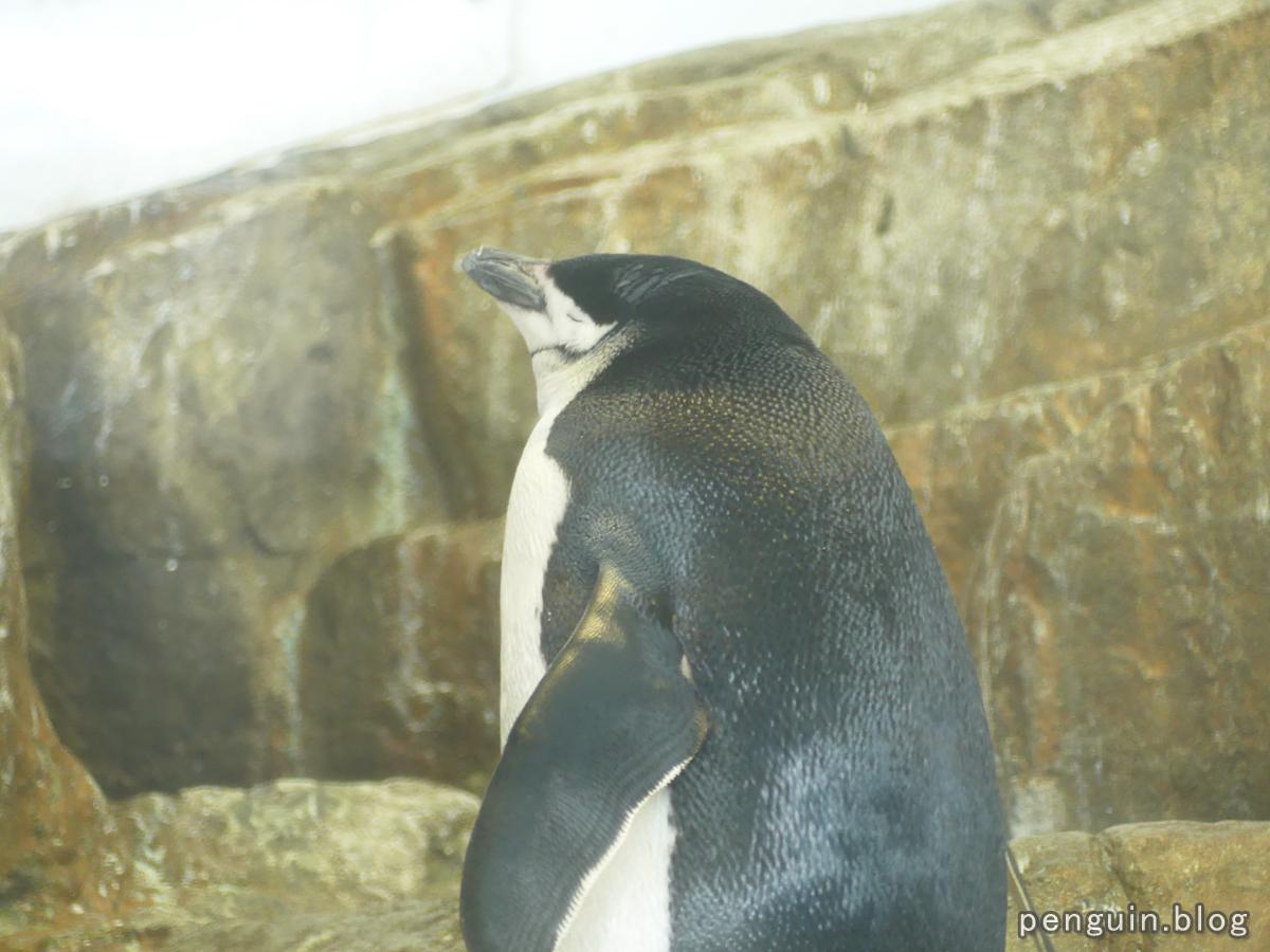 ヒゲペンギン3