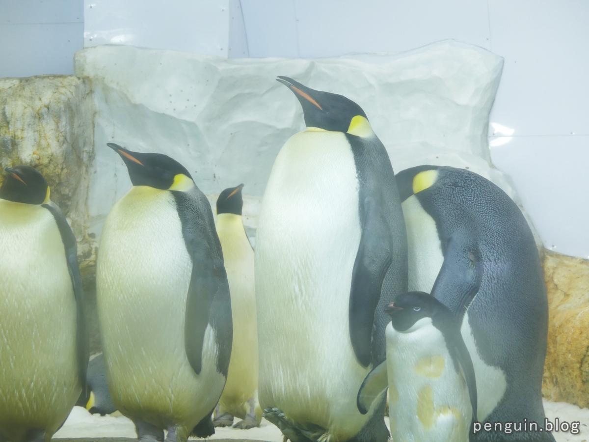 コウテイペンギン6