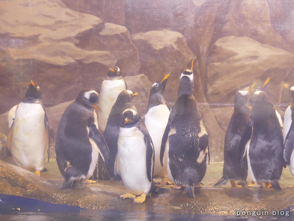 ジェンツーペンギン2