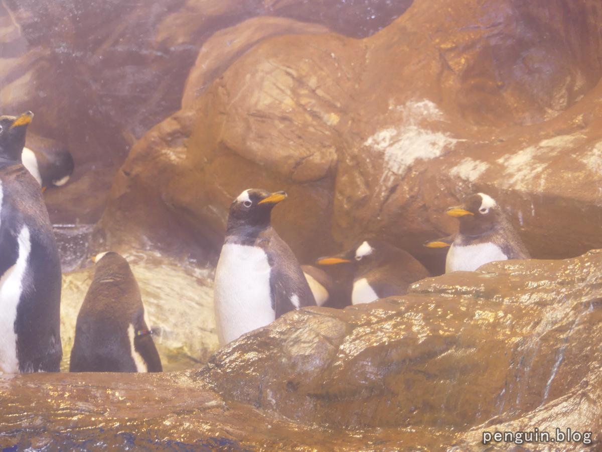 ジェンツーペンギン3