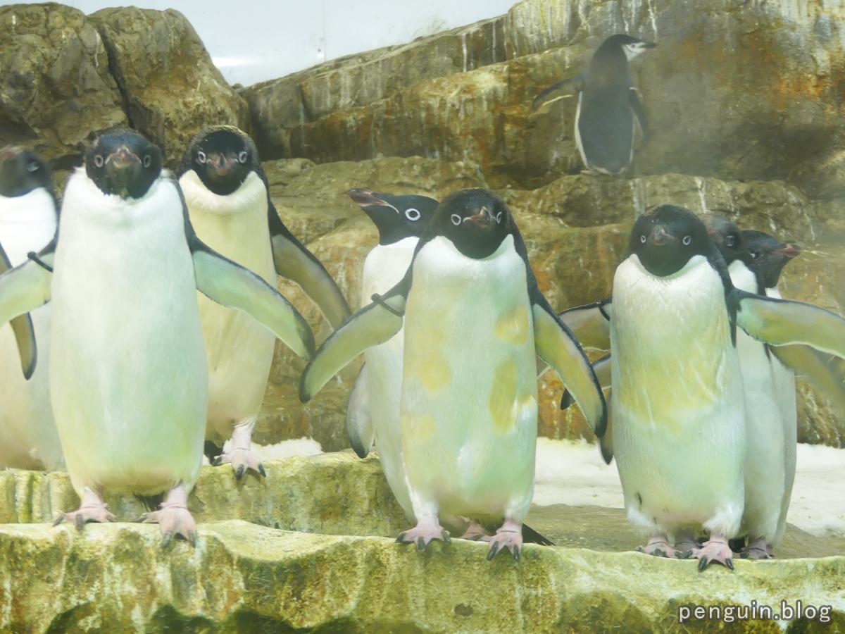 アデリーペンギン5