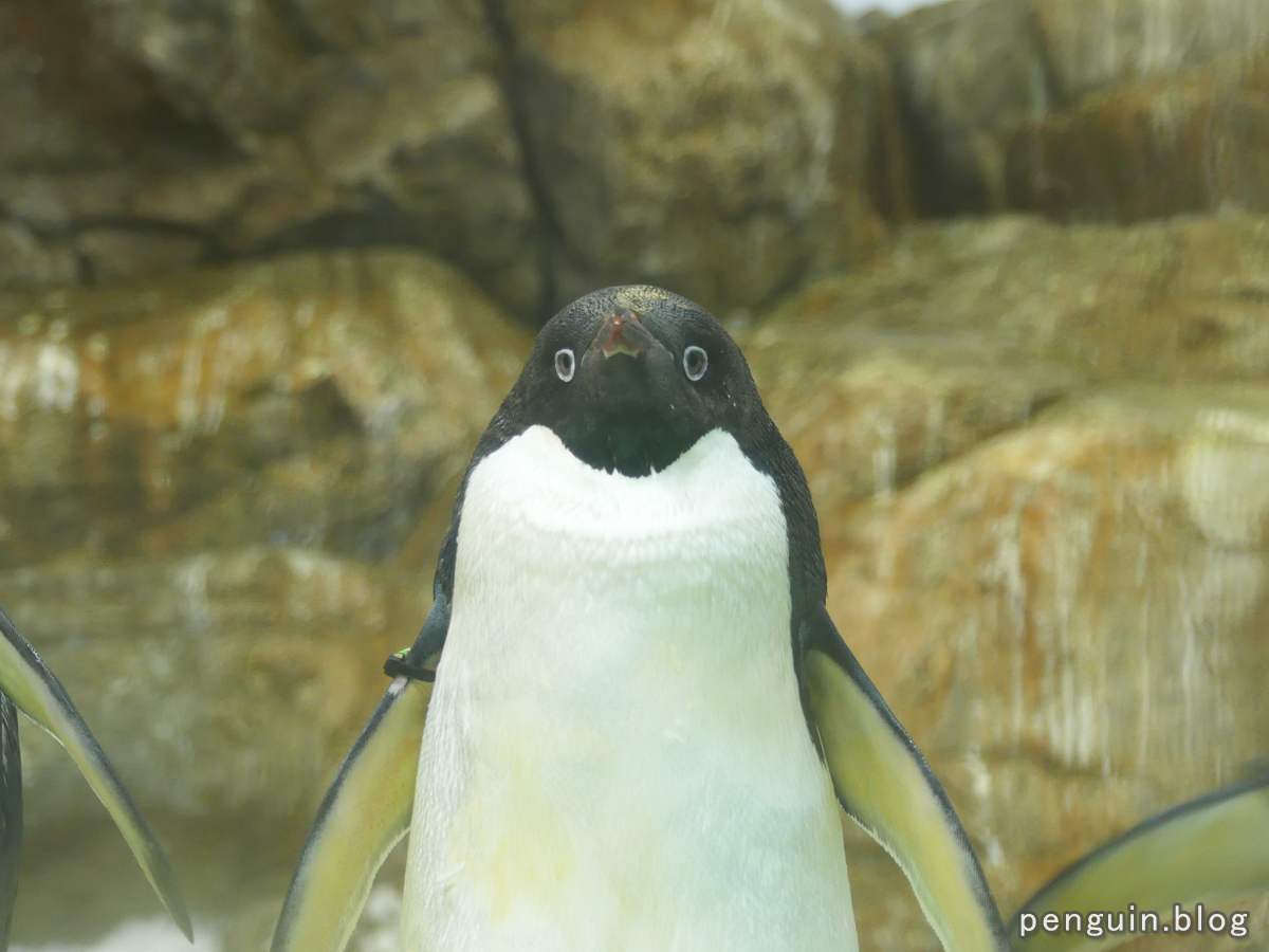 アデリーペンギン6