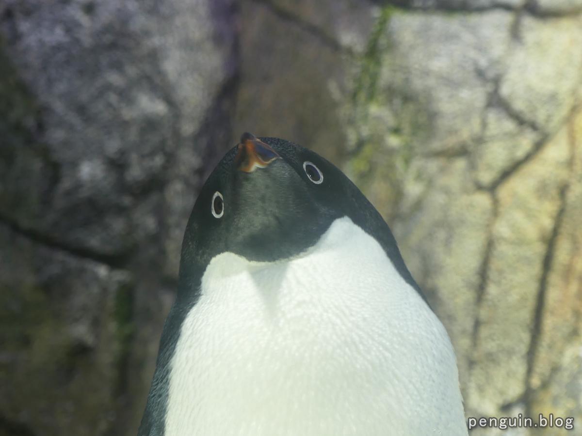 アデリーペンギン3