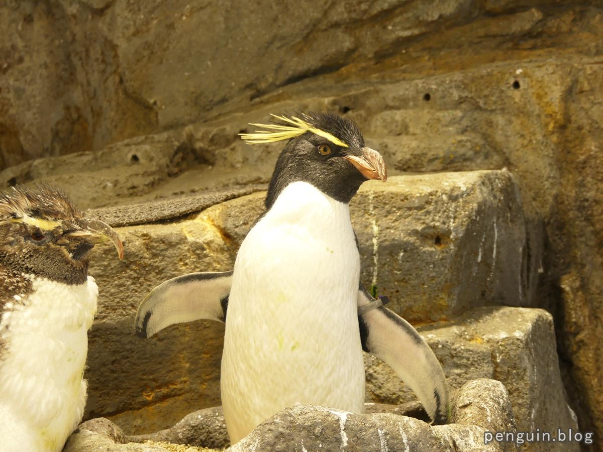 ミナミイワトビペンギン2