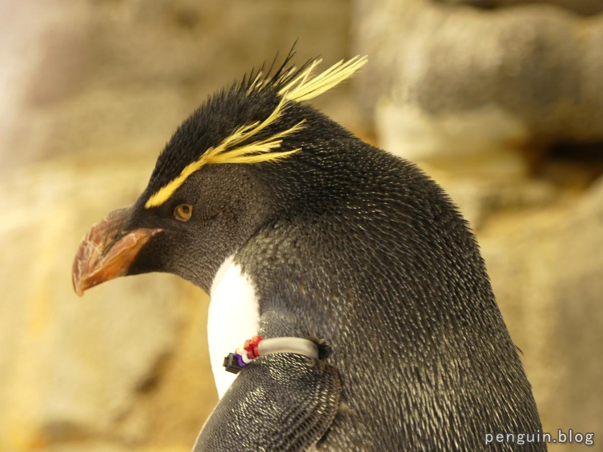 ミナミイワトビペンギン4