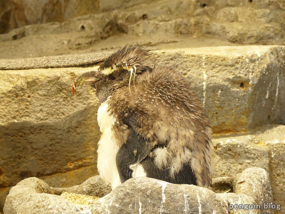 ミナミイワトビペンギンの幼鳥