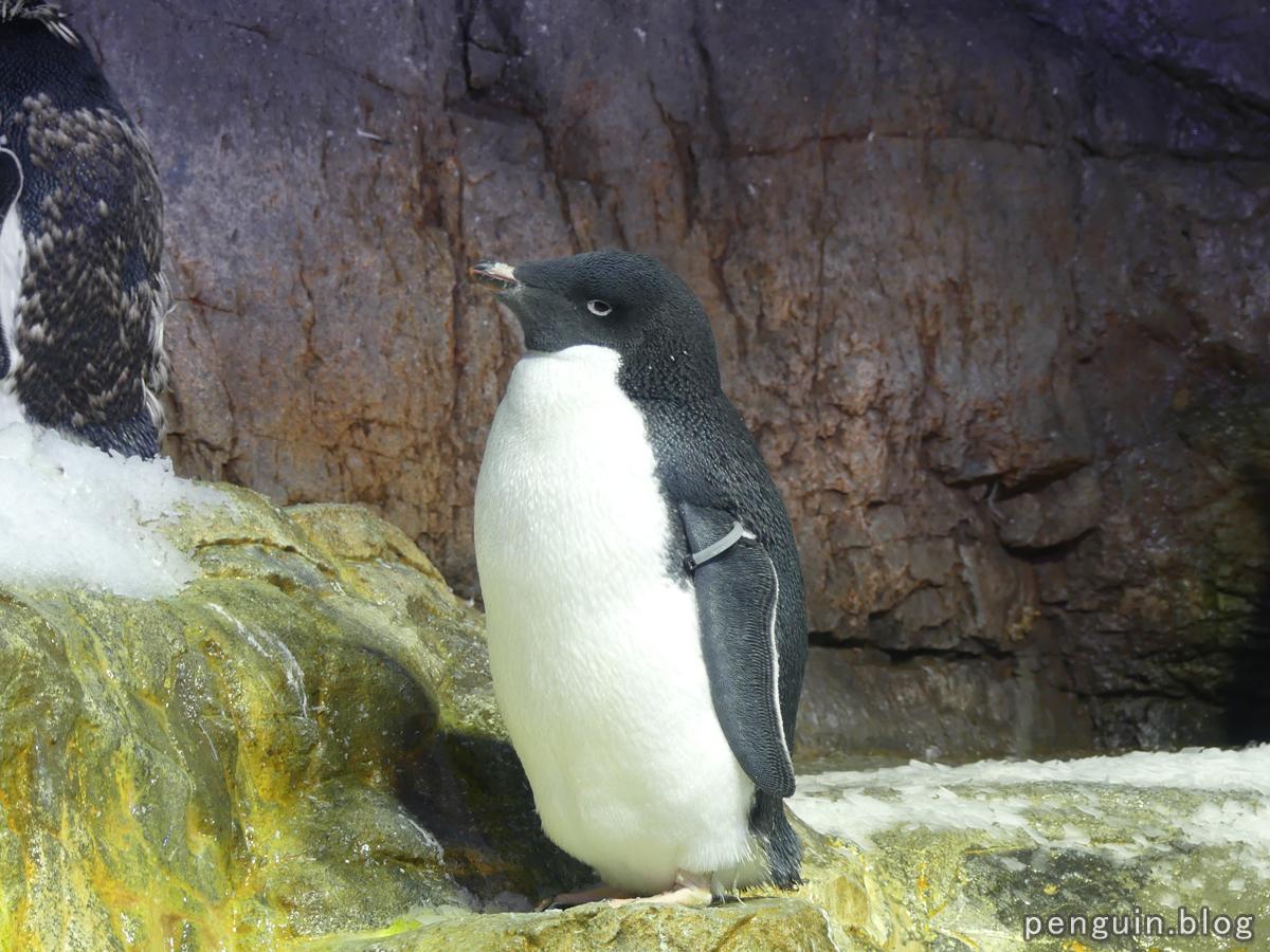 アデリーペンギン4
